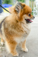 Pomeranian for a walk in summer.
