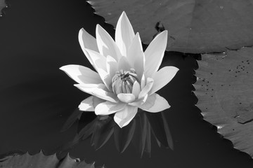 white water lily among leafs - black and white
