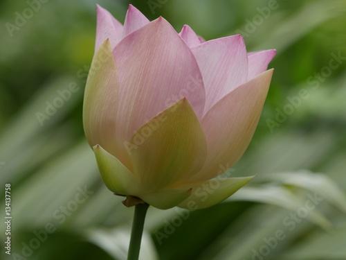 Bouton Fleur De Lotus Rose Reunion Stock Photo And Royalty Free