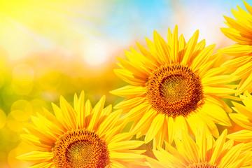 Beautiful sunflower field in summer.