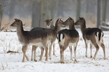 A herd of fallow deer (Dama dama) in a winter landscape.