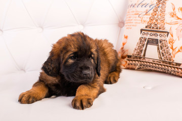 leonberger puppy on a white sofa