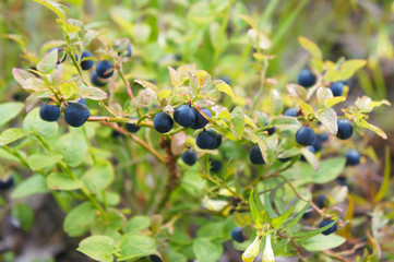 Bush of blueberry with berry and green