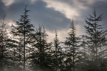 Spooky black forest, pine trees, sunset over horror hill