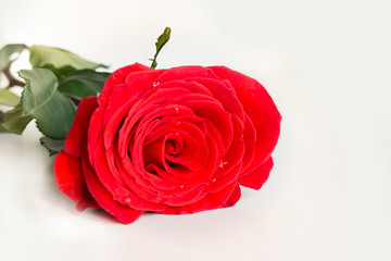 Valentine's card. Red rose on white background. Isolated. Close up.