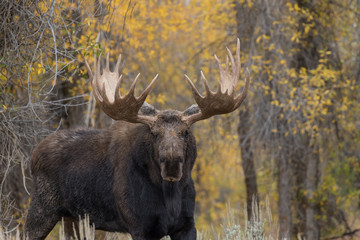 Bull Shiras Moose in the Fall Rut