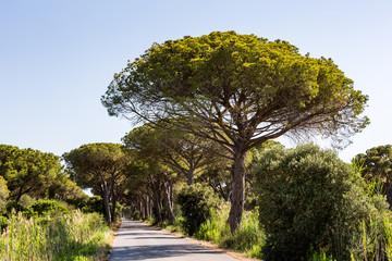 Pine tree avenue in the tuscan region Maremma in Italy