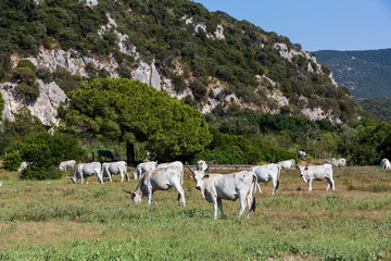 White Chianina breed cows on a tuscan field in Italy