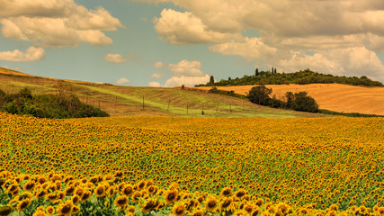 Sunflower fields in the tuscan region San Quirico d Orcia in Ita
