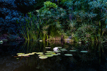 View of a Nymphaea alba (known as the European white water rose)