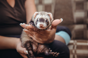 Close up Portrait of Ferret sitting on girl's hand and looking forward. Home pet consept. Selective focus Wall mural
