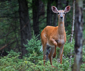 A Virginia deer in the forest.