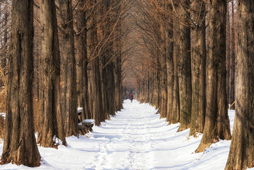 snow covered metasequoia road