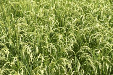 稲穂, 水田, Rice Field