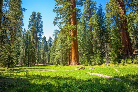 Giant sequoia trees in a meadow at Mariposa Grove Yosemite National Park, California, USA