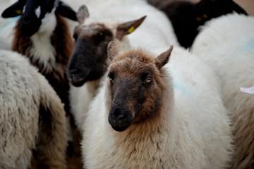 Fond de hotte en verre imprimé Sheep Brebis