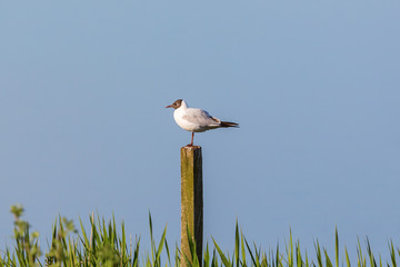 Black-headed gull on a pole