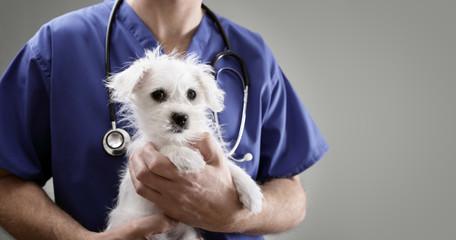 Veterinarian doctor examining a Maltese puppy