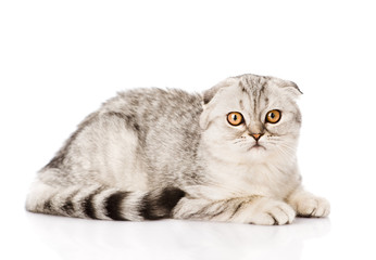 Lop-eared scottish cat lying in side view and looking at camera. isolated on white