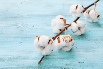 Beautiful white cotton flowers on turquoise wooden background.