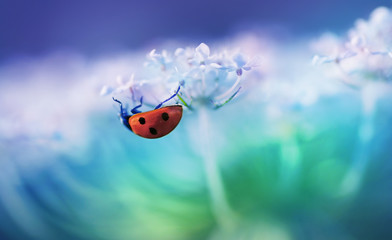 Ladybug on white flower on light blue background in rays of light with a soft focus on nature outdoors macro. Spring summer romantic tender wallpaper card template for design.