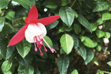 Beautiful Fuchsia Flower in the garden.