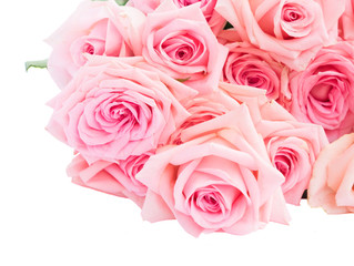 Pink blooming fres roses flowers isolated on white background