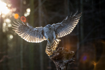 Flying goshawk in the forest.
