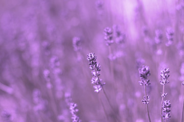 Tuinposter Lavendel blurred pale lavender summer background