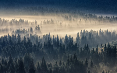 Spoed Fotobehang Ochtendstond met mist coniferous forest in foggy mountains