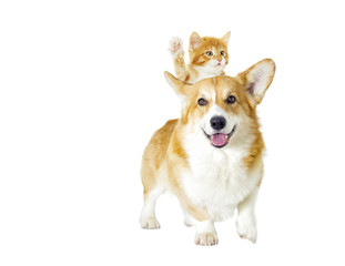 dog and kitten looking on a white background