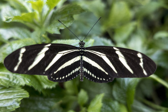 Zebra Longwing, (Heliconius charitonia) - butterfly