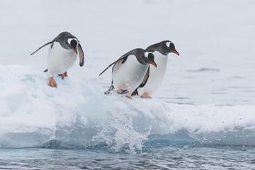 Gentoo Penguin walk on the snow