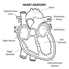 HEART ANATOMY cross section OUTLINE VECTOR