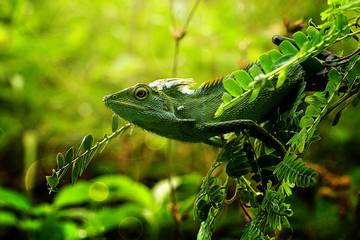 Green lizard, Indonesia