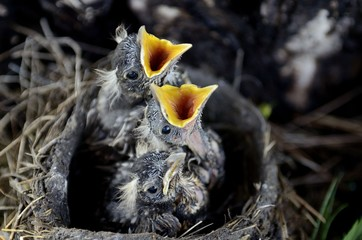 High angle view of three nestlings crying for food