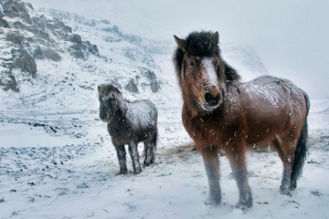 Horses standing on snow, Iceland