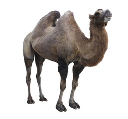 Poster Kameel Bactrian camel (Camelus bactrianus) on white background isolated