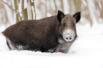 Wall Mural - Wild boar in winter