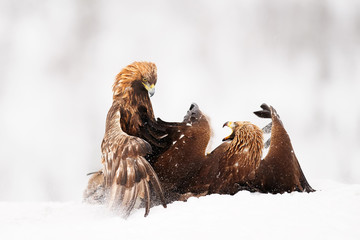 Birds fighting in the snow.