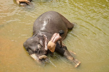 A man bathing an elephant in the river.