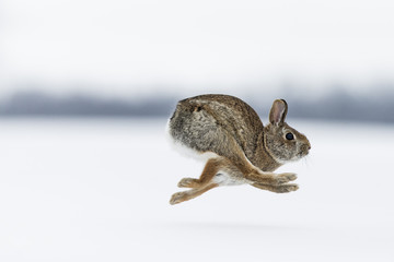 A cottontail rabbit running.