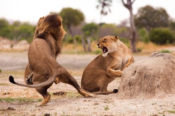 Two lions fighting.