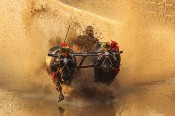 Bulls dragging man through wet mud, Kambala, Karnataka, India
