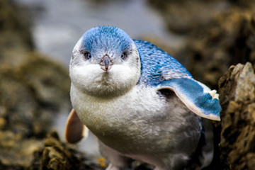 Little Blue Penguin baby