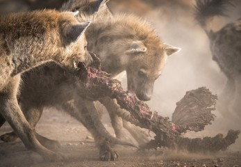 Hyenas eating carcass, Masai Mara National Reserve, Kenya