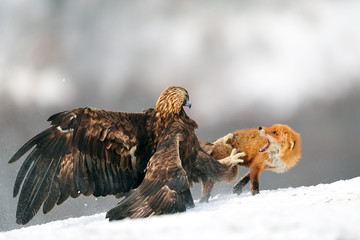 A golden eagle attacking a red fox.