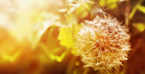 Foto op Canvas Paardenbloem Dandelion close up on natural background. Dandelion flower on summer meadow at sunset