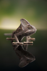 Chameleon on green mirror background