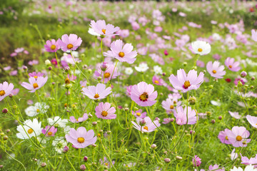 Beautiful cosmos
